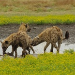 Hyenas sharing their meal