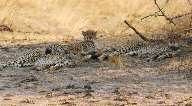 Cheetah in Kafue National Park