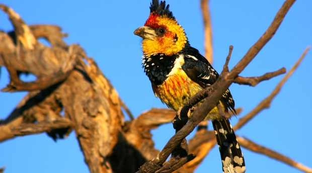 Crested Barbet Kafue National Park